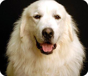 1 1 15 Newland Nc Great Pyrenees Meet Sebastian A Dog For