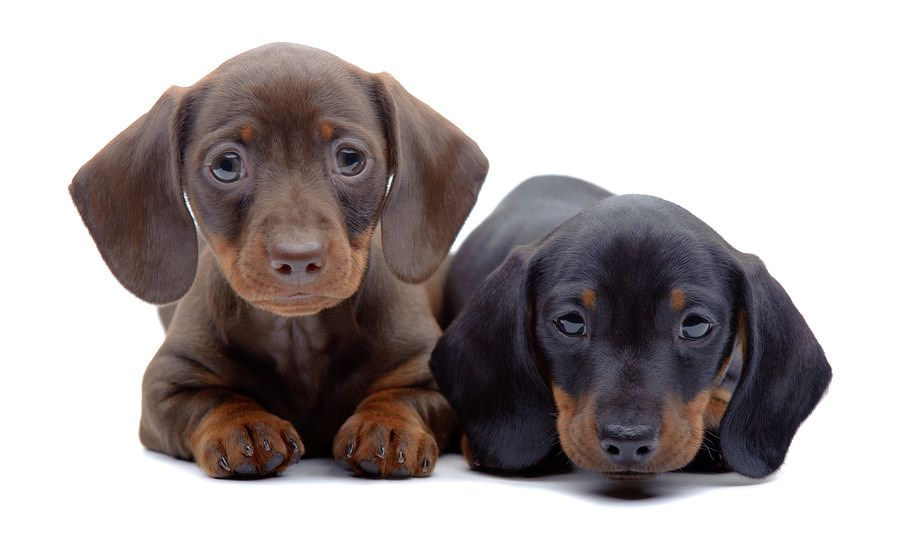 Dachshunds Are Mighty Hunters These Fierce Loveballs Are