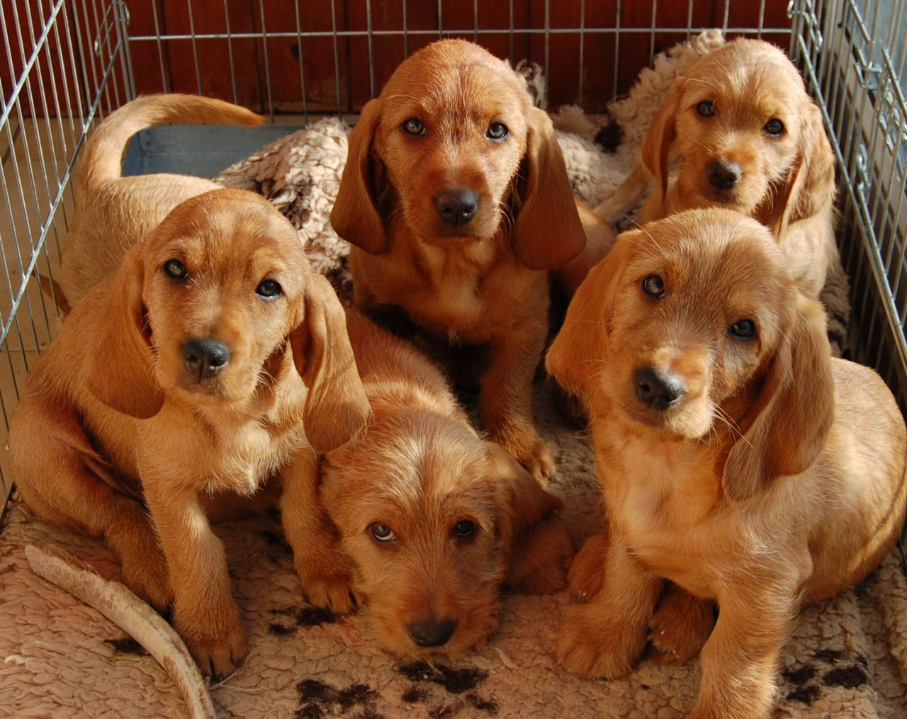 Basset Fauve De Bretagne Puppies KC Reg Puppy litter
