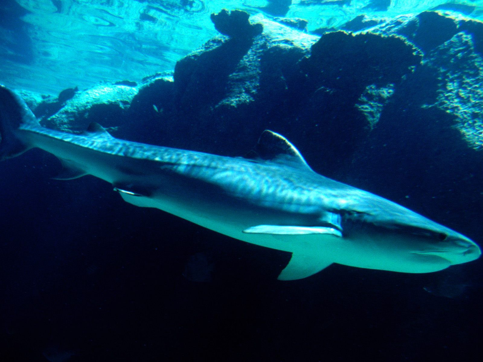 25 Tiger Shark and HD Wallpapers