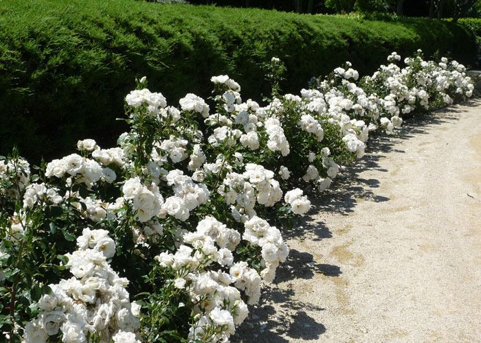 Iceberg rose bushes google search garden pinterest for Rosa iceberg