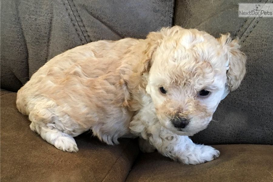 Lacy Poodle Miniature Puppy For Sale Near Huntsville Decatur