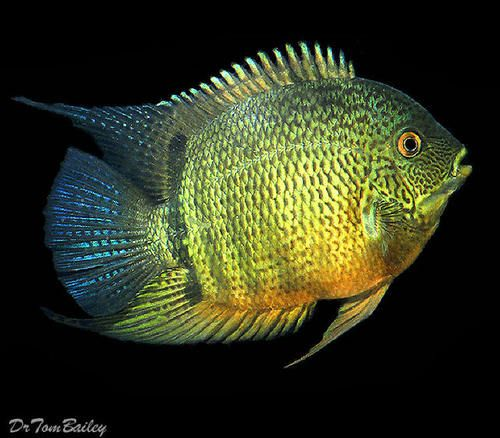 Premium green severum cichlid came from a wide area of for Fish in the amazon