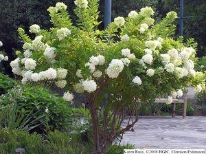 Hydrangea Pruning With Images Hydrangea Landscaping Hydrangea Paniculata Grandiflora Hydrangea