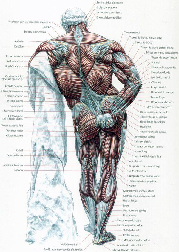 Mapa dos Músculos | Workout | Pinterest | Músculos, Mapas y Anatomía