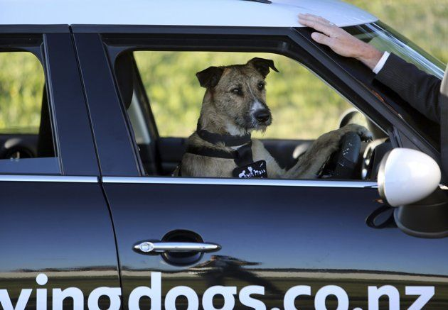 Handout Picture Of New Zealand Spca Dog Porter Driving A Modified