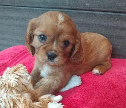 Cavalier King Charles Spaniel Puppy For Sale In West Bloomfield