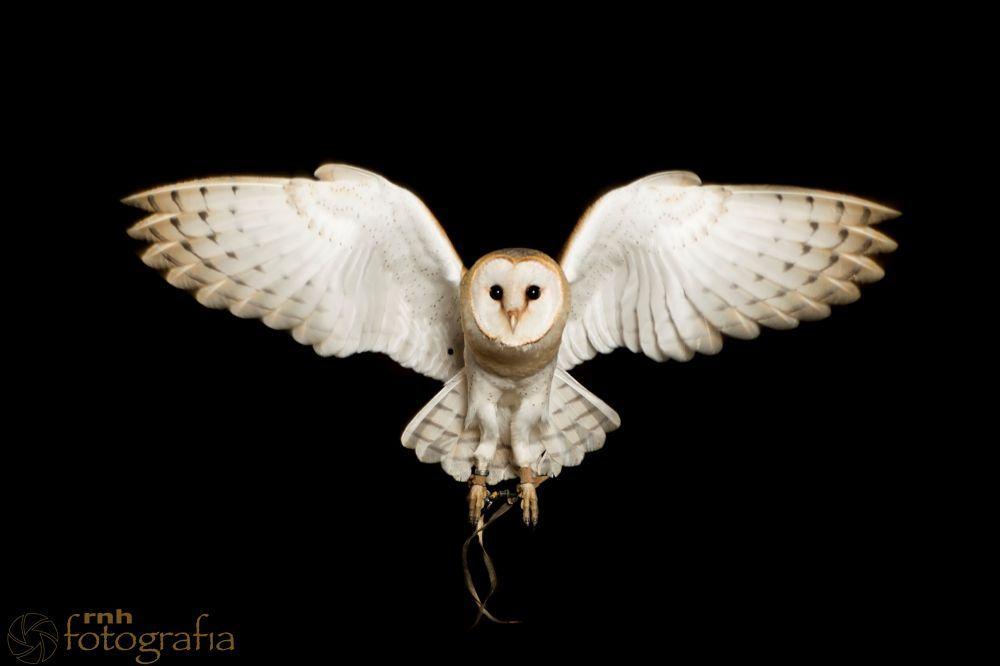 Barn Owl In Flight Flora Fauna Bird Of Prey Tattoo