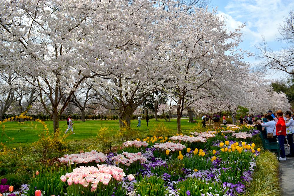 Cherry Blossom Trees Dallas Blooms 2014 The Dallas Arboretum Dallasblooms30 Spring Landscaping Dallas Arboretum Blooming Trees