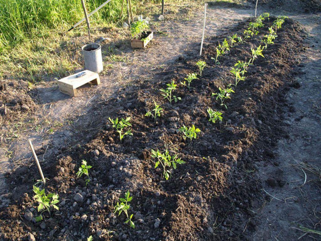 заполнить способ посадки томатов в грядках коробах фото последнее время