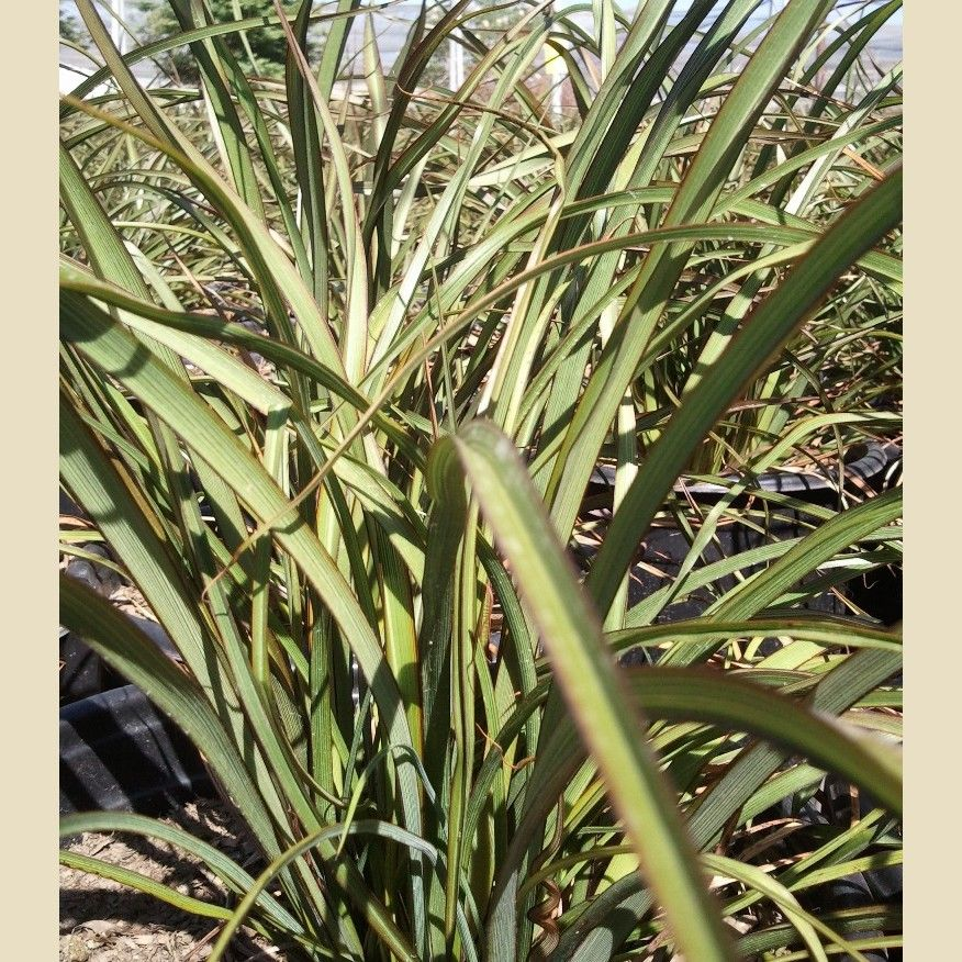 Phormium Tenax Tom Thumb 2 X 2 Full Sun Part Shade Low Med Water With Images Landscape Plan Tom Thumb Landscaping Plants