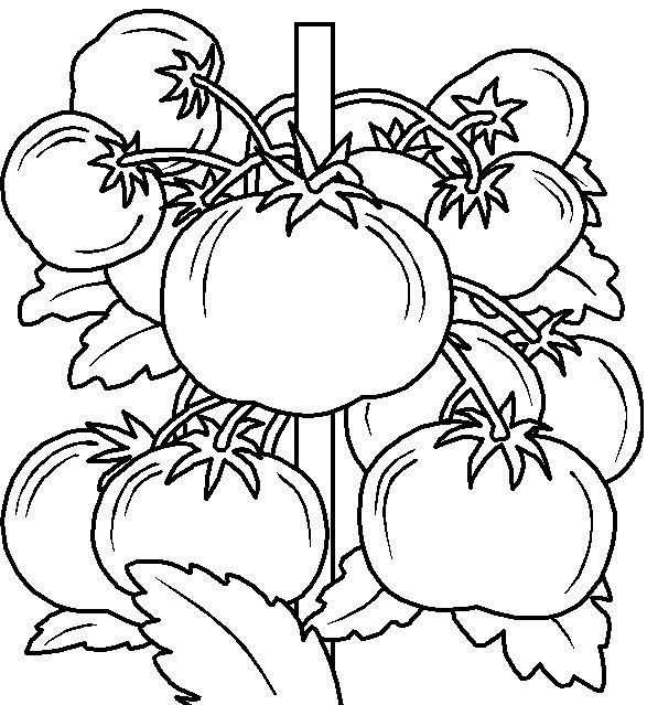 Elegant Vegetable Coloring Pages 69 Tomatoes Vegeables Coloring Pages
