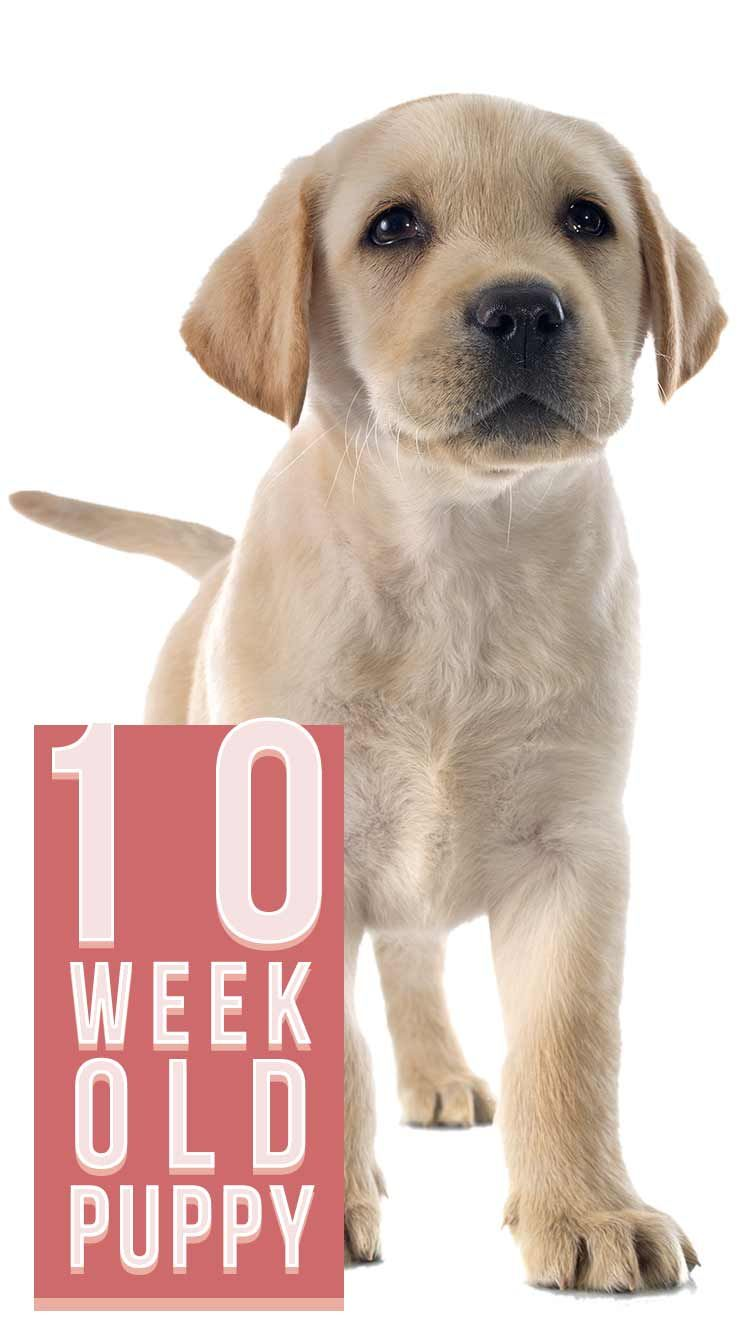 How Often Should Puppies Eat At 8 Weeks Old Discover The Truth Puppyfaqs In 2020 Feeding Puppy Puppy Feeding Schedule Puppies