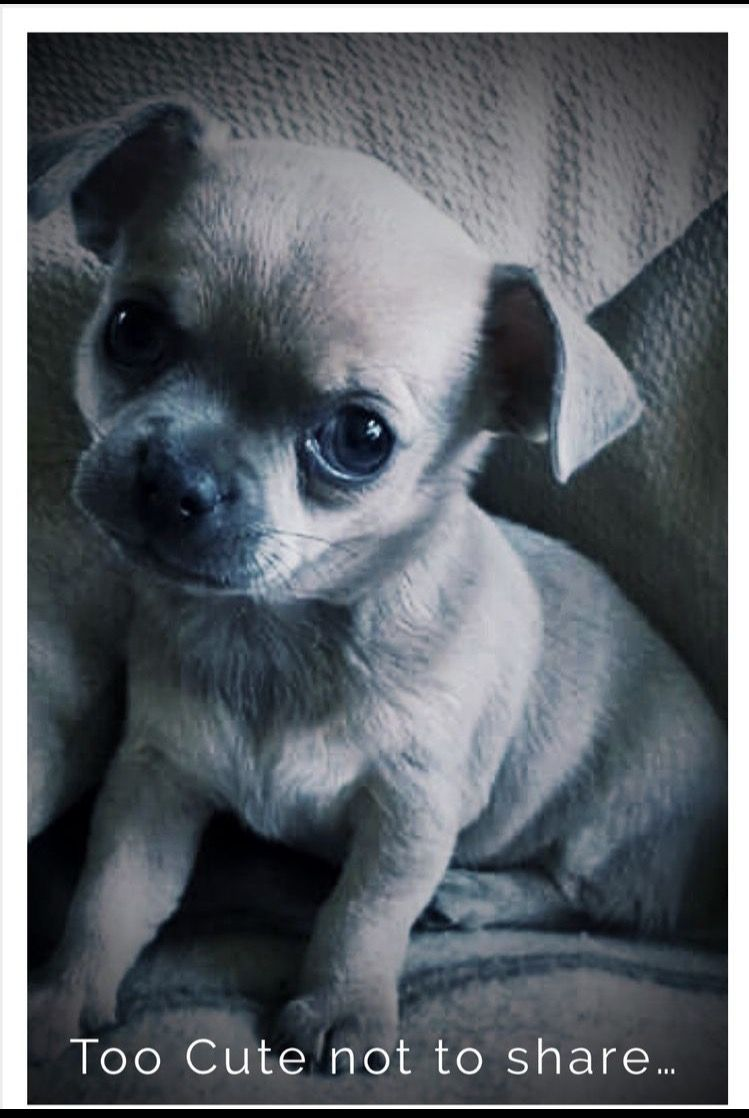 Cute Puppy Adorable Smooth Coat Chihuahua Pet Accessories Pets