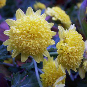 Botanical Name Chrysanthemum X Morifolium Yellow Buttons Common Name Yellow Button Mum Characteristics Size 5 75 X 1 Chrysanthemum Plants Botanical