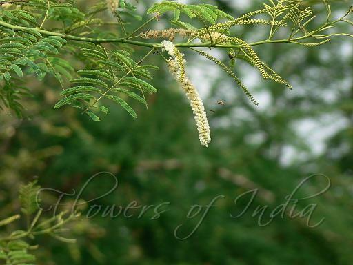 Khair Cutch Tree Botanical Name Acacia Catechu Acacia Plant Leaves Tree