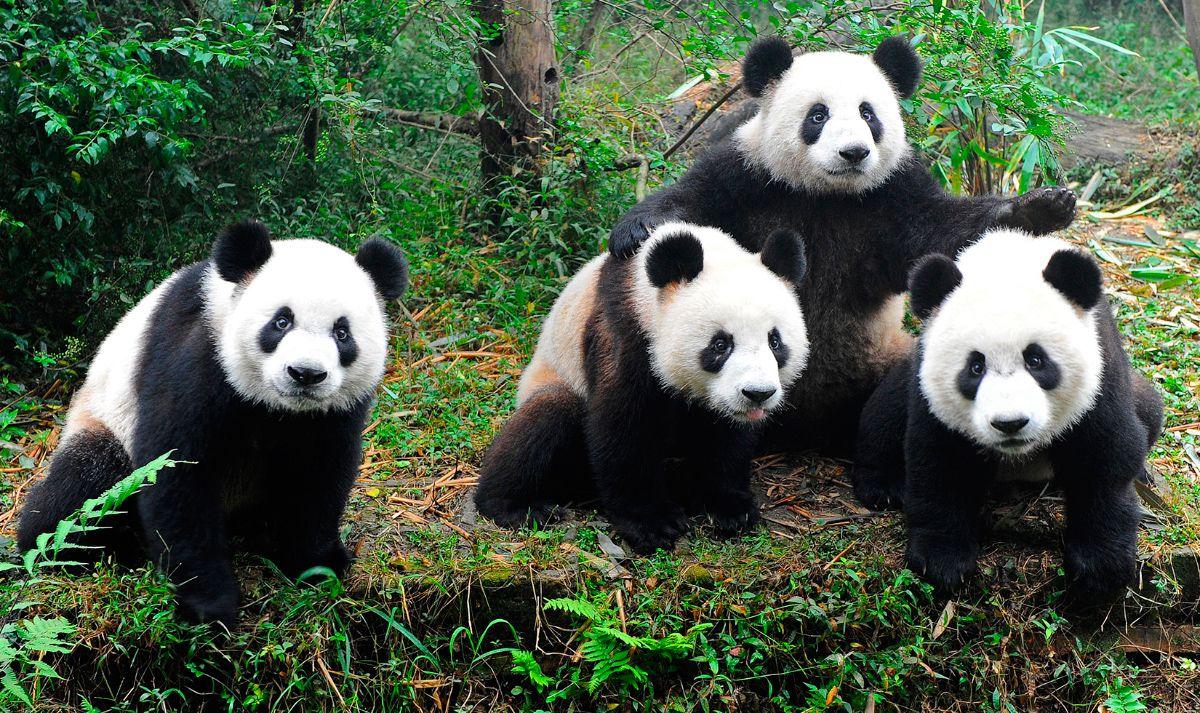 Osos Panda Características De Los Osos Panda Fotos De Osos Panda Osos Panda Fotos De Osos Oso Panda