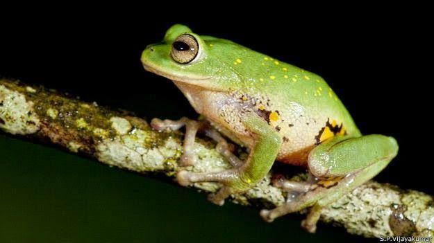 ranas arbóricolas..nueva especie
