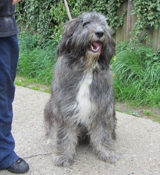 Milly 1 Year Old Female Old English Sheepdog Cross German