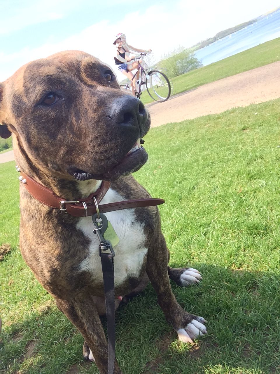 Brindle Staffordshire Bull Terrier Pitbull Puppies Fluffy Puppies Puppies