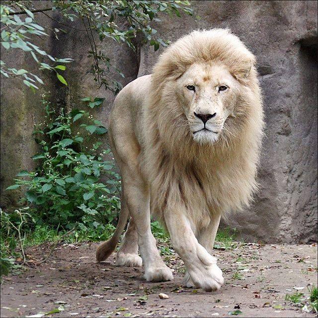 Lion Blanc Photo Animaux Animaux Afrique Animaux