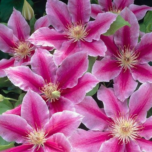 dr ruppel clematis large pale orchid purple ruffled. Black Bedroom Furniture Sets. Home Design Ideas