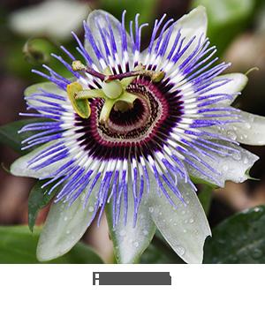 Golden Acre Cabbage Seeds Brassica Oleracea Blue Passion Flower Passion Flower Indoor Vegetable Gardening