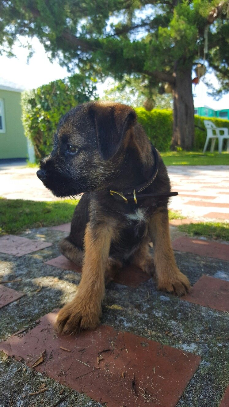 Ferguson The Red Grizzle Border Terrier Border Terrier Puppy