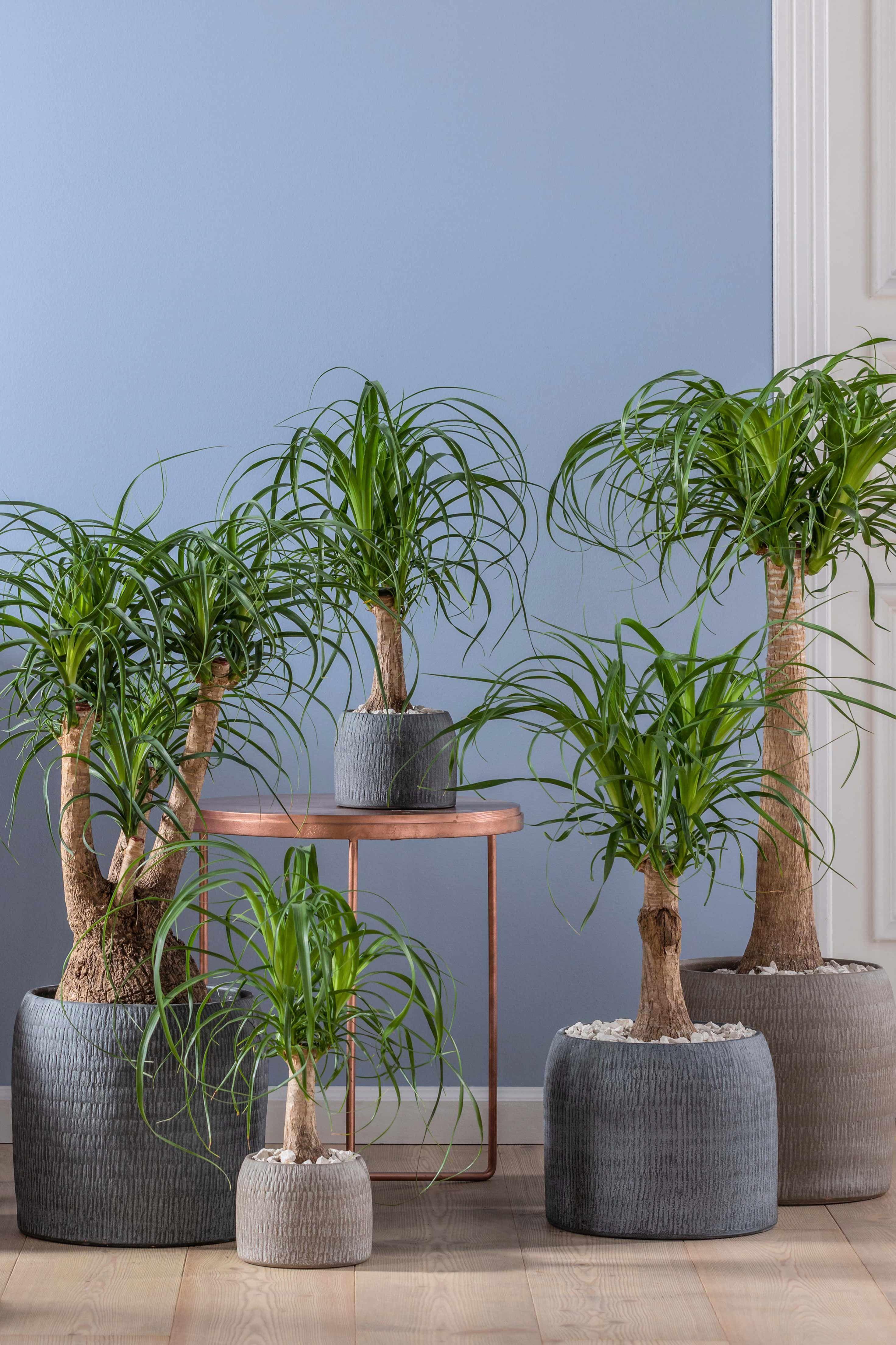 Elefantenfuss Wohnung Pflanzen Pflanzen Zimmerpflanzen