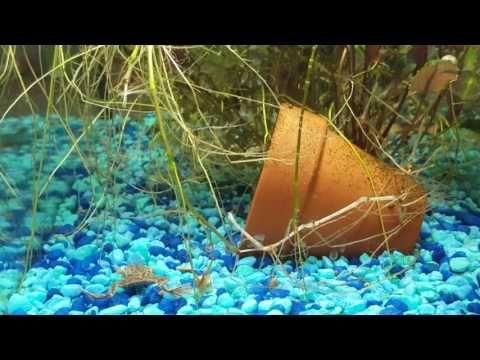 Three New Yoyo Or Pakistani Loaches In With Aquarium African Frogs Aquarium Dwarf Frogs