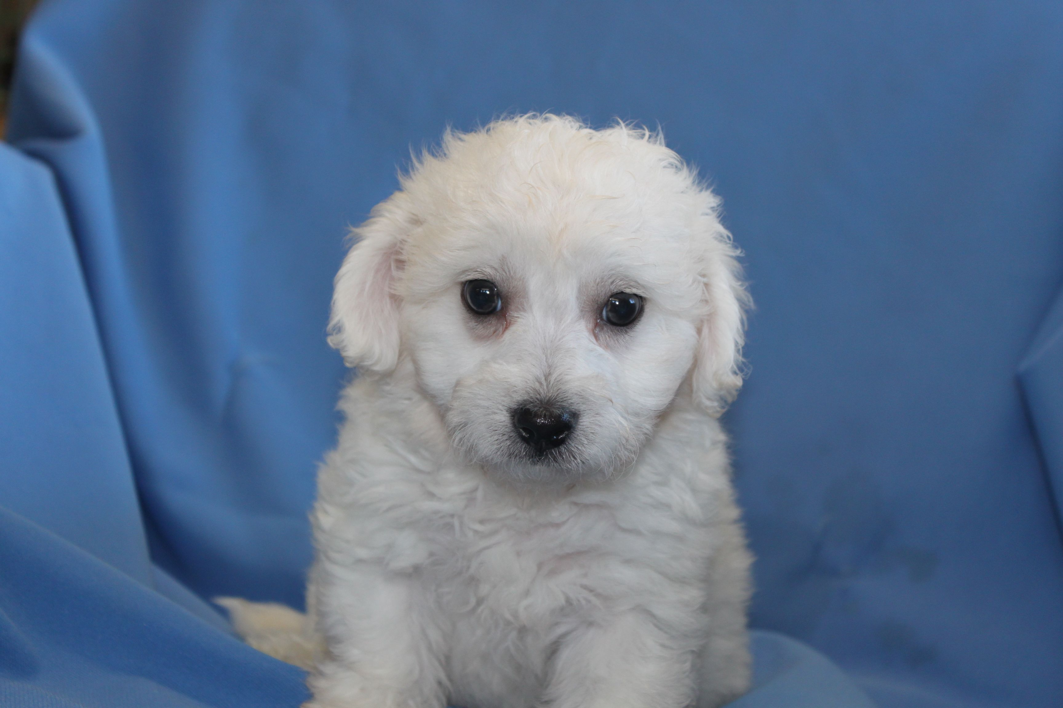 Bichon Frise puppy for sale advertised at http//www