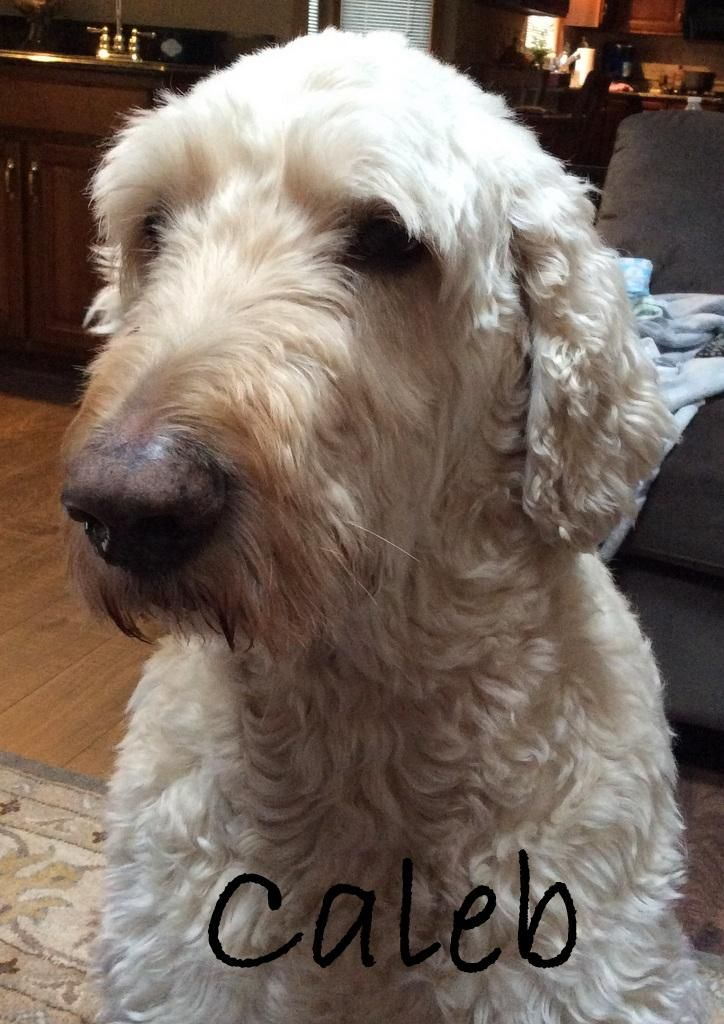 Adopt OH Caleb on Poodle mix dogs, Dog adoption, Dogs
