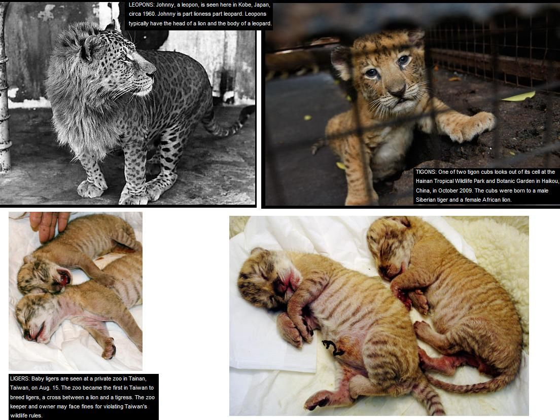 big cat hybrids / top left =Johnny, a leopon, is seen here