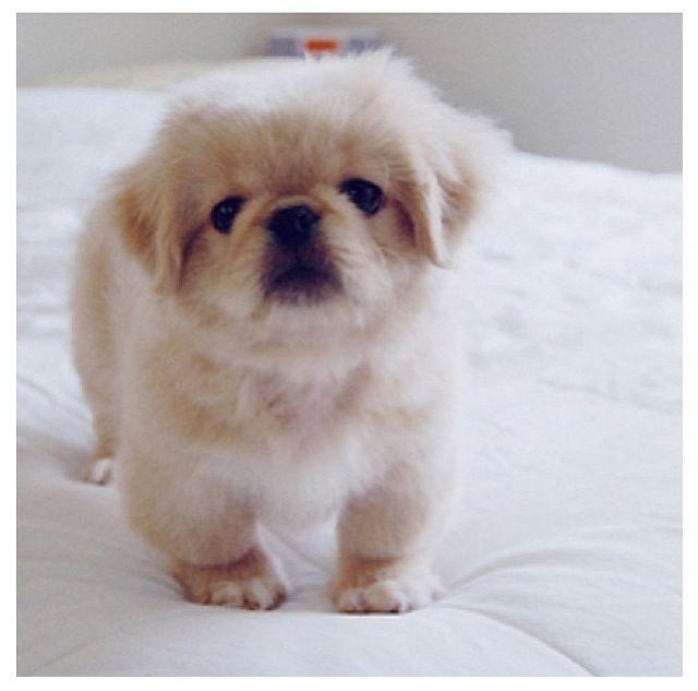 Pin By Linda Flint On Animals I Like Cute Dogs Pekingese