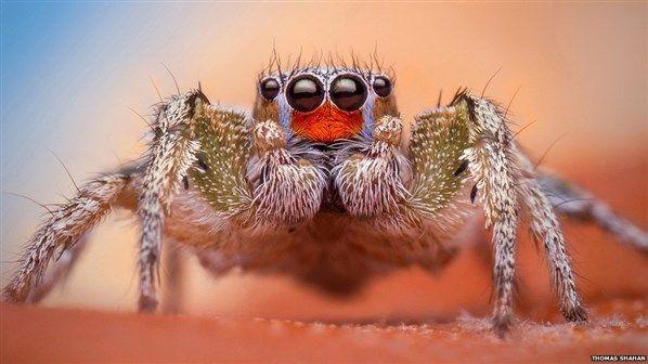 Fotógrafo revela cores e desenhos em detalhes de aranhas saltadoras