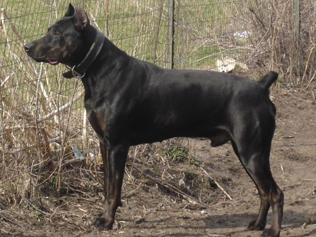 Apache Youngblood Thunderhawk Bred By Rock Of Ages Kennels Canis
