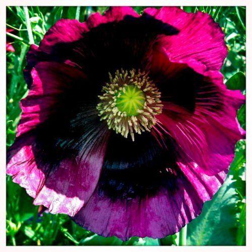 Pin Auf Papaver Somniferum Pepperbox Opium