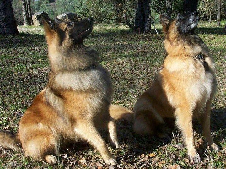 Reward $800. help find them...call Lynn 209-754-5610. San Andreas, CA. Male & female Belgian Tervurens. Micro chipped.