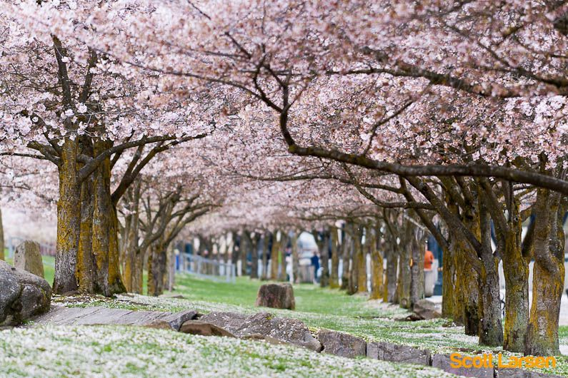 Portland S Cherry Blossoms Portland Sightseeing Portland Travel Portland Oregon Vacation
