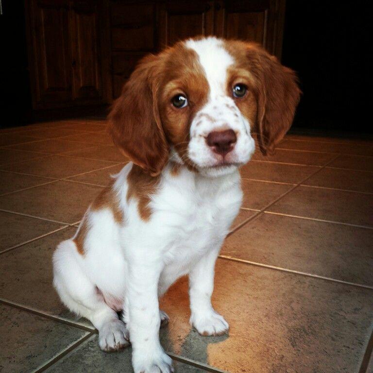 Brittany Spaniel. | Doggies | Pinterest