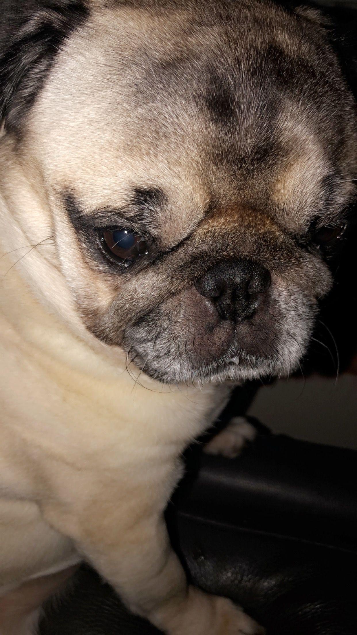 Pin by Rebecca ☆♡ on tai the pug French bulldog, Bulldog