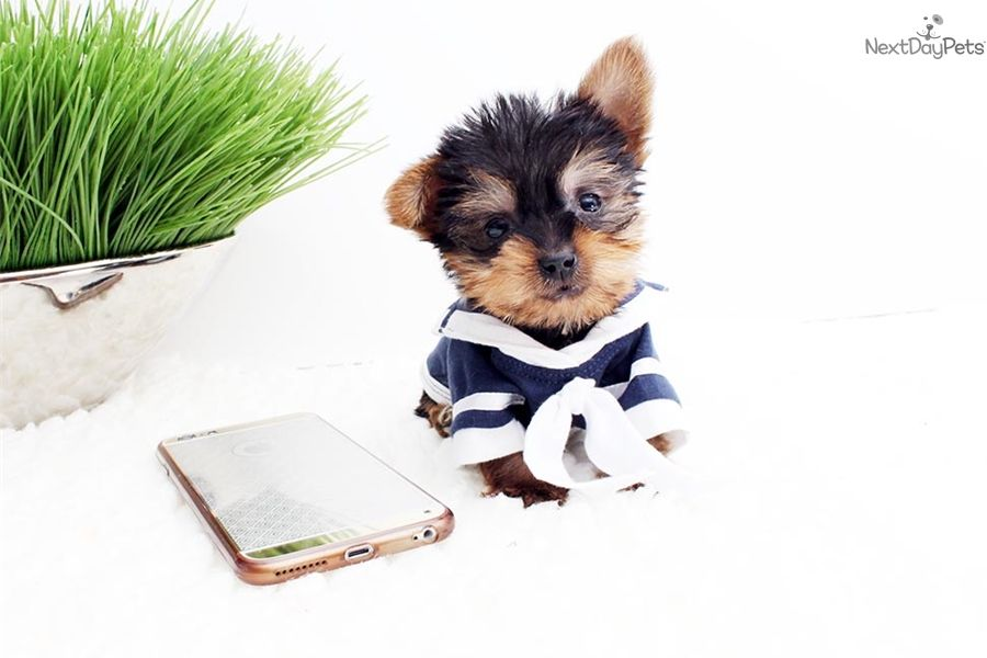 Morkie / Yorktese puppy for sale near Los Angeles