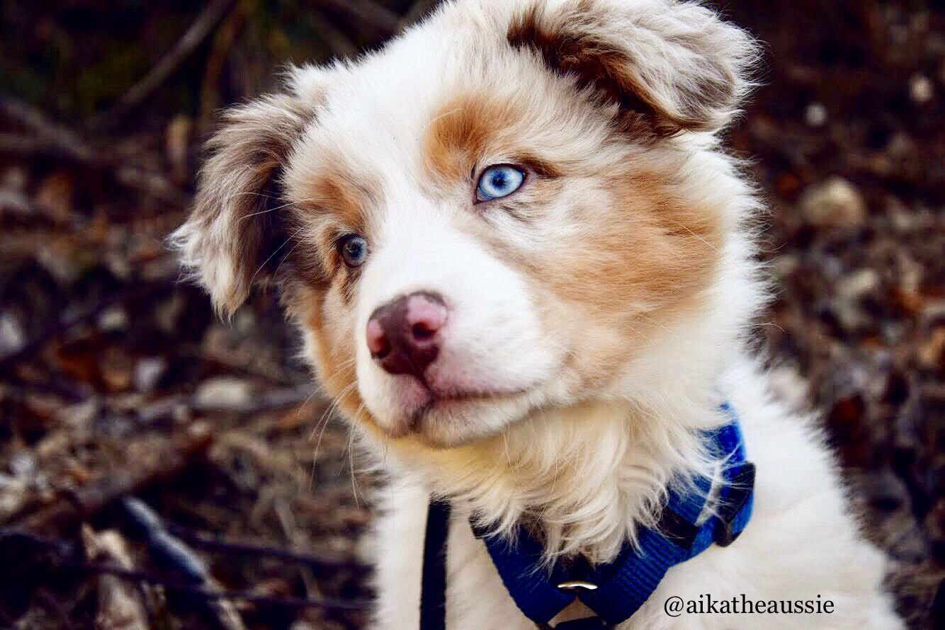 Red Merle Australian Shepherd Puppy With Blue Eyes Pastore Australiano Red Merle Con Occhi Blu Pastore Australiano Pastore