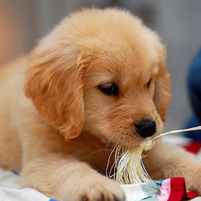 Golden Retriever Pup We Have Decided On Another Family Dog