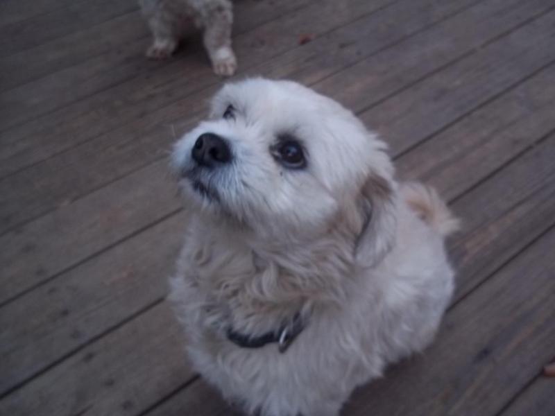 Adopt Cruz Azul Urgent No Fee On Maltese Shih Tzu Dog