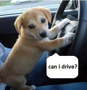 Puppy: Can I drive? | Puppies, Adorable cute animals, Cute ...