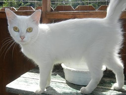 Pictures of PetSmart Cats a Domestic Shorthair for