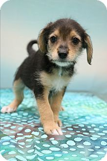 Hagerstown Md Yorkie Yorkshire Terrier Beagle Mix Meet Asher