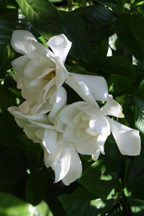 Mystery Gardenia Cape Jasmine Cape Jessamine The Gardenia Of The