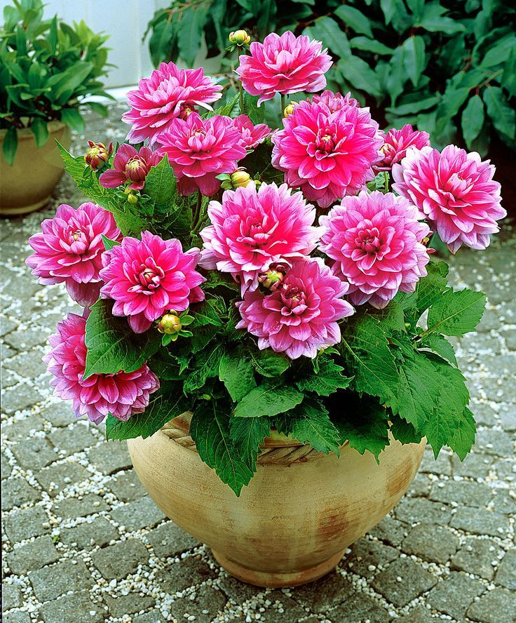 patio dahlia blusette with its low compact growing habit and immensely pink and white